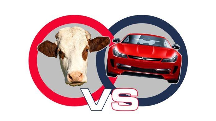 cows-vs-cars